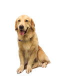 Cheerful Golden Retriever Stock Images