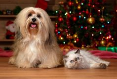 Cheerful Havanese dog and a colorpoint kitten in Christmas stock photos