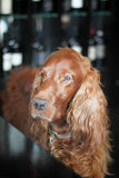 Cheerful Irish Setter Royalty Free Stock Photo