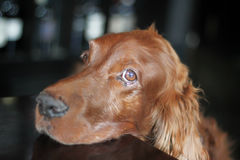 Cheerful Irish Setter Royalty Free Stock Photos