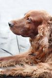 Cheerful Irish Setter Stock Images