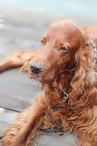 Cheerful Irish Setter Stock Photography