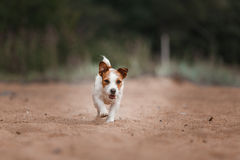 Cheerful Jack Russell Terrier Royalty Free Stock Images