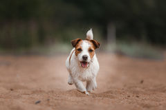 Cheerful Jack Russell Terrier Stock Images