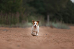 Cheerful Jack Russell Terrier Stock Photo