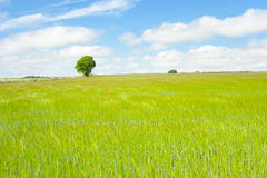 Cheerful landscape. Tree in full leaf standing prominently behind a brilliant green field of corn/maize Royalty Free Stock Photo