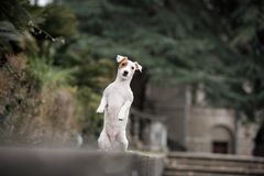 A cheerful little dog of the Jack Russell Terrier breed, against a dark background royalty free stock image