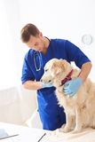 Cheerful male veterinarian is curing the puppy Royalty Free Stock Images