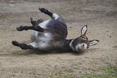 Cheerful mule rolling on the ground royalty free stock image