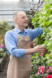 Cheerful old florist is doing his work Royalty Free Stock Image