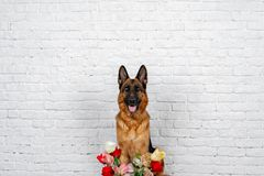 Cheerful perky dog on a brick background. German Shepherd with a bouquet of flowers. Cute little face. Studio photo session. Languid expectation of the meeting royalty free stock images
