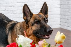 Cheerful perky dog on a brick background. German Shepherd with a bouquet of flowers. stock photography