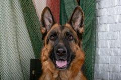 Cheerful perky dog on a brick background. German Shepherd. stock photo