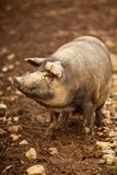 Cheerful pig Royalty Free Stock Photos