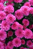 Cheerful pink blossoms of healthy plant in backyard garden royalty free stock photos