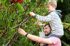 Family picking berries. Cheerful positive boy sitting on his father shoulders enjoying spring family activity picking cherry berries from the tree during u-pick Stock Image