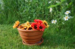 Cheerful Pot of Sunflowers. Pot of sunflowers sitting in the grass on a sunny day Royalty Free Stock Images