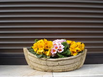 Primulas. Cheerful primulas in a pot on window sill Royalty Free Stock Images