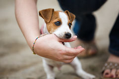 Cheerful puppy Jack Russell Terrier Stock Photography
