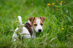 Cheerful puppy Jack Russell Terrier. Portrait of the puppy Jack Russell Terrier royalty free stock photography
