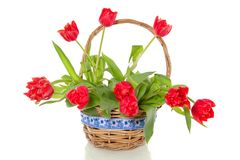 Cheerful red bouquet  tulips Stock Images