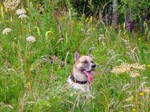 Cheerful dog husky sits in the tall grass on the edge of the forest stock photo