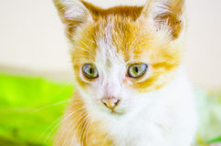 Cheerful red & white cat Stock Photos