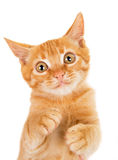 Cheerful redhead kitten Royalty Free Stock Image