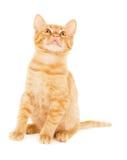 Cheerful redhead kitten Royalty Free Stock Photo