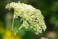 Close up of blooming inflorescence of umbelliferous herb on blurry background. Cheerful rich colors of nature and bright sunlight inspire for the best and fill royalty free stock photography