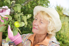 Cheerful senior woman picking apples in garden Stock Image