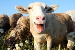 Cheerful  sheep Royalty Free Stock Photos