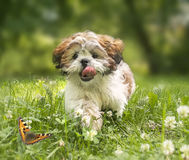 Cheerful shih-tzu puppy running across the meadow. Royalty Free Stock Image