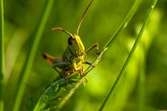 A cheerful singing grasshopper among green grass stock image