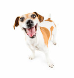 Cheerful Smiling Dog. Most cheerful smiling dog in the world. jack russel terrier isolated over a white background Stock Image