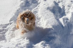 Cheerful spaniel in the snow stock images