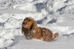 Spaniel sitting in the snow stock image