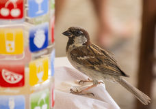 Cheerful Sparrow sitting on the table with a bottle Royalty Free Stock Images
