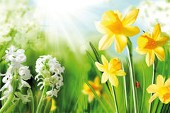 Cheerful Spring Bulbs. Background of flowering white narcissus and yellow daffodils under spring sunshine stock photos