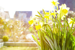 Cheerful Spring Bulbs Royalty Free Stock Image
