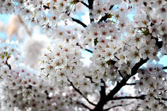 Cheerful spring- white cherry blossom full bloom Royalty Free Stock Image