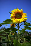 Cheerful sunflower. Sunflowers provide happiness, sunshine and other positive meaning to people, let's see after it blossomed, it shows a great smile to the Stock Photos
