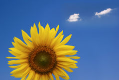 Cheerful Sunflower royalty free stock images