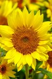 Cheerful sunflower standing out in a field stock images
