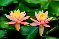 Pair of multi colored asian water lilies under the sun royalty free stock photography