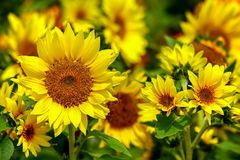 Field of bright tropical sunflowers during spring royalty free stock photo