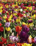 Cheerful Tulip Fields. Garden full of purple, pink and white blooming tulips royalty free stock image