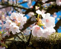 Cheerful white and pink cherry blossoms are clustered by a moss crusted tree branch. Two clusters of recently opened cherry tree blossoms with pink and white royalty free stock images