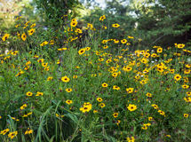 Cheerful Wild Black-eyed Susan Flowers Stock Photography