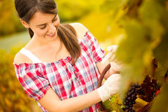 Cheerful woman harvesting grapes Royalty Free Stock Photo
